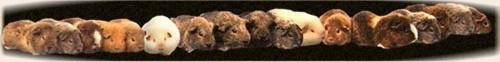 Fajtatiszta tengerimalacok